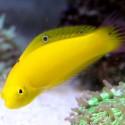 Halichoeres chrysus - тамарин желтый S