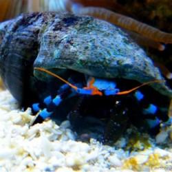 Calcinus elegans (L) - синелапый отшельник