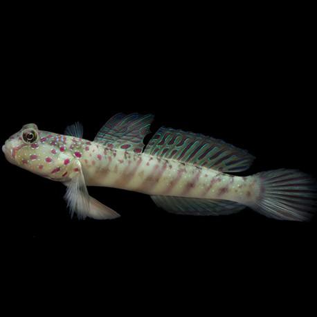 Cryptocentrus leptocephalus (бычок-сторож)