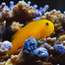 Gobiodon okinawae (бычок-клоун желтый)