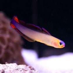 Фиолетовая рыба-стрелка