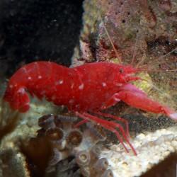 Alpheus fasqueli - красный рак-щелкун