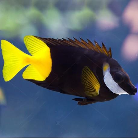 Siganus (LO) uspi (рыба-лиса двухцветная)