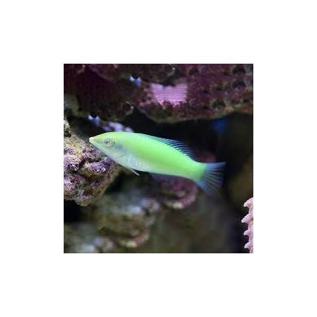 Halichoeres chloropterus (зеленый тамарин)