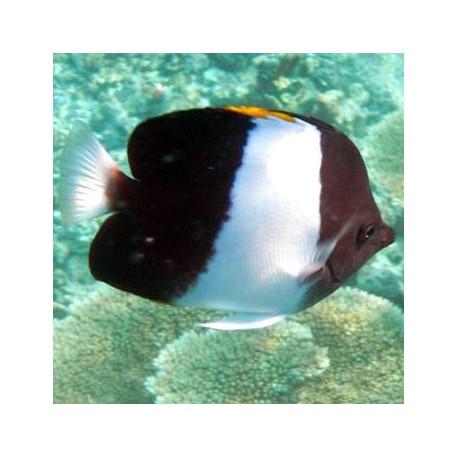 Hemitaurichthys zoster (гемитаурихт трехцветный)