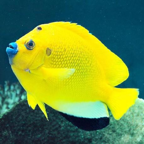 Apolemichthys trimaculatus (синегубый ангел)