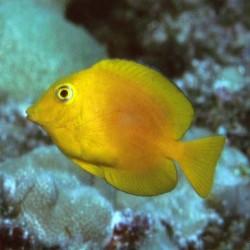 Ctenochaetus Strigosus yellow (хирург-ктенохет желтый)