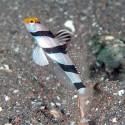 Stonogobiops xanthorhinica (полосатый бычок)