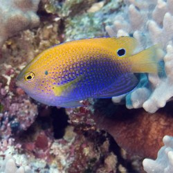 Pomacentrus vaiuli (пятнистая рыба-ласточка)