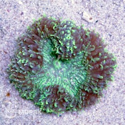 Symphyllia sp. (симпфиллия зелено-коричневая)