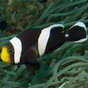 Amphiprion polymnus (cедловидный клоун)