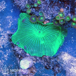 Rhodactis ultra green (ярко зеленые)