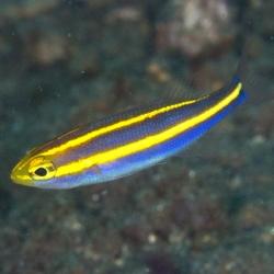 Pentapodus emeryii (пентапод эмерии)
