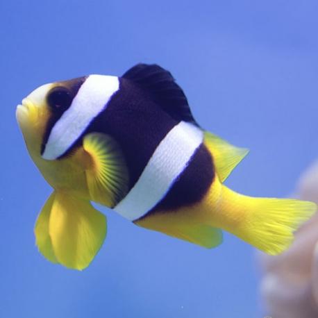 Amphiprion clarkii (клоун Кларка)