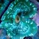 Stichodactyla haddoni - актиния ковровая