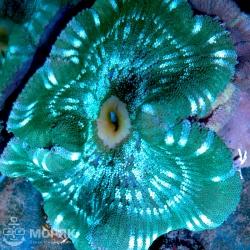 Stichodactyla haddoni - актиния ковровая полосатая