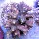 Акропора миллепора - Acropora millepora