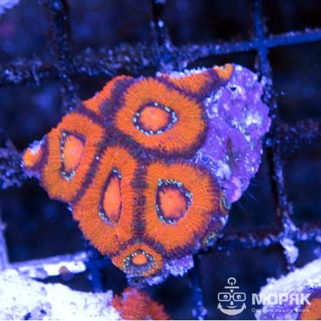 Micromussa lordhowensis (микромусса)