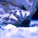 Percnon gibbesi (краб светлоногий)