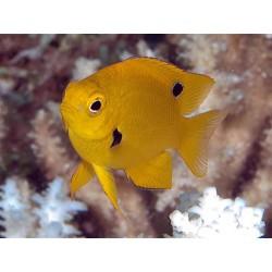 Pomacentrus sulfureus - лимонная рыба-ласточка