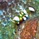Periclimenes brevicarpalis (Анемоновая креветка стеклянная)