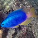 Pomacentrus coelestis (Помацентрус голубой)
