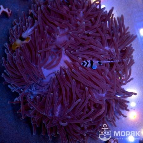 Radianthus sp. - актиния великолепная