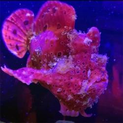 Antennarius commerson (бородавчатый клоун)