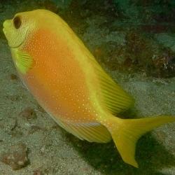 Siganus tetrazonus (коралловая рыба-лиса)