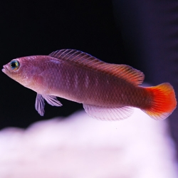 Pseudochromis coccinicauda (краснохвостый псевдохромис)