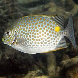 Siganus guttatus (оранжевоточечная рыба-лиса)