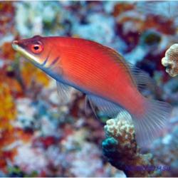 Pseudocheilinus evanidus (красный губан)