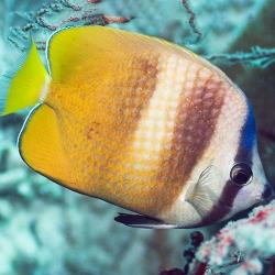 Chaetodon kleinii (рыба-бабочка Клейна)