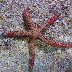 Linckia multiflora (красная звезда мультифлора)