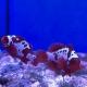 Premnas biaculeatus (Lightning Maroon) - мавританский клоун