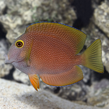 Ctenochaetus truncatus (хирург-ктенохет желтоглазый)