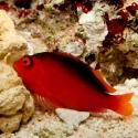 Neocirrhites Armatus (огненный кудрепёр)