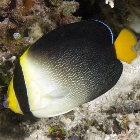 Chaetodontoplus mesoleucus - желтохвостый ангел