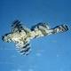 Callogobius hasselti (лоскутный бычок)