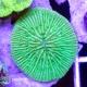 Fungia sp, фунгия зеленая