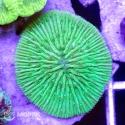 Cycloseris - фунгия зеленая