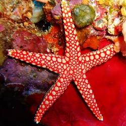 Celerina heffernani - морская звезда хеффермана