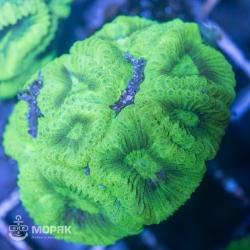 Goniastrea sp. - гониастрея зеленая (флуо)