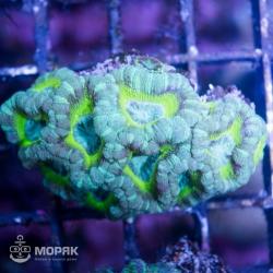 Goniastrea sp. - гониастрея мультицвет
