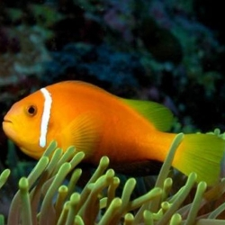 Amphiprion nigripes (черноплавничий клоун)