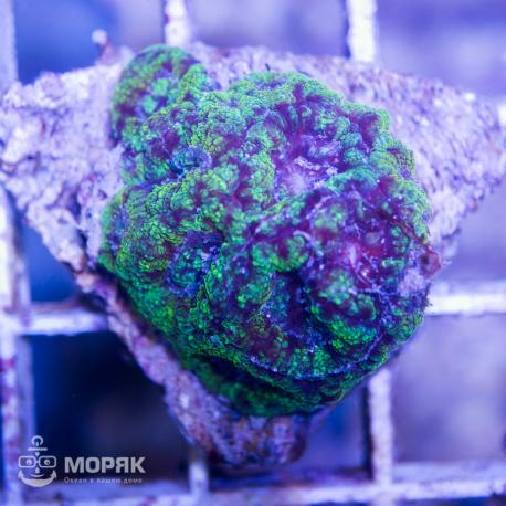 Acanthastrea spp (Акантастрея голубая)