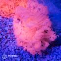 Cerianthus (цериантус розовый)