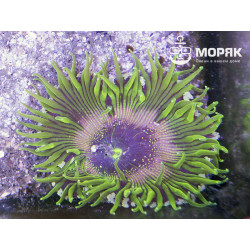 Epicystis crucifer (Rock Pool Anemone) - зеленые
