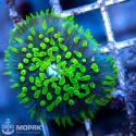 Fungia (фунгия зеленая флуорисцентная)