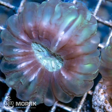 Cynarina lacrymalis - цинарина двухцветная